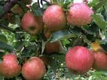 Яблоки - фото 1