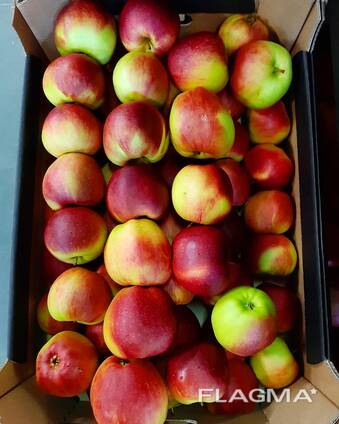 Apple Ligo from Poland // Export