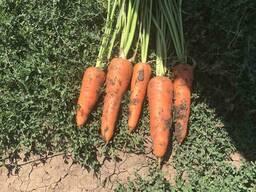 Продаем Морковь