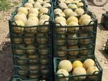 Свежие арбузы и дыни - photo 5